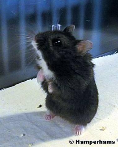 maladie hamster russe